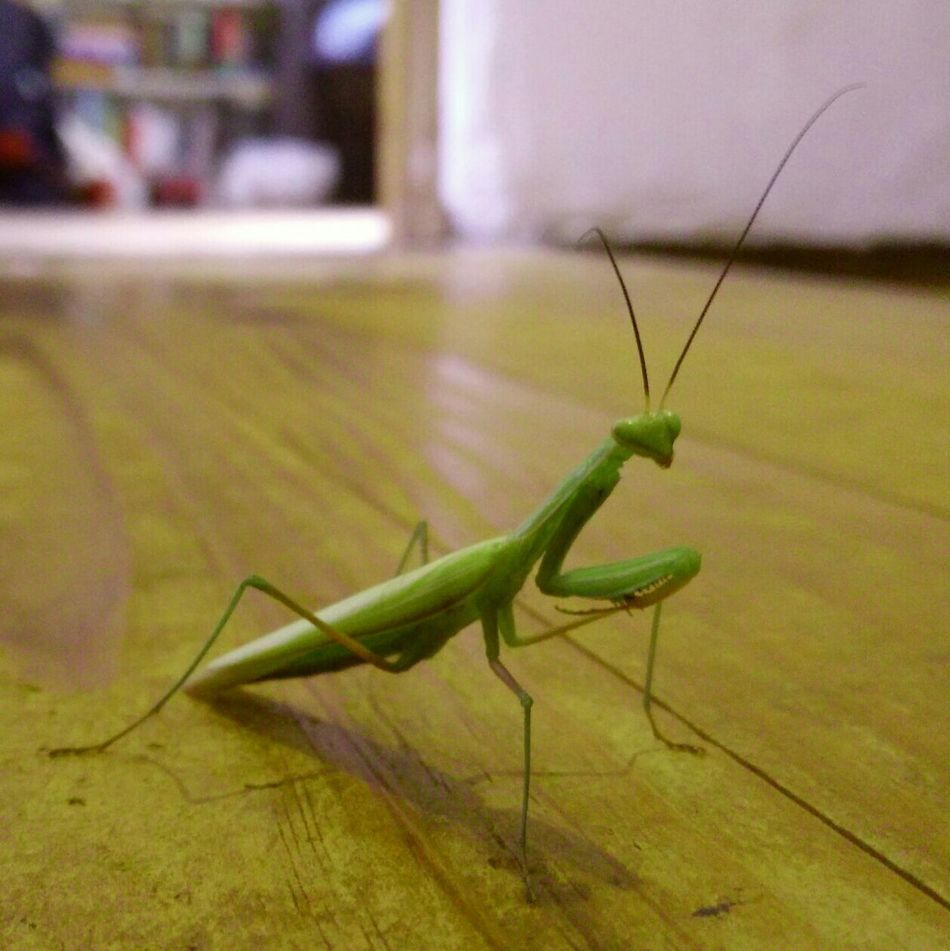 Praying Mantis Alien Visitor Green Macro Photography