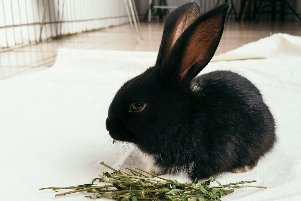 Animal Animal Themes Black Rabbit Close-up Curiosity Domestic Animals Home Indoors  Mammal Medicago Sativa One Animal Pets Rabbit Relaxation Zoology