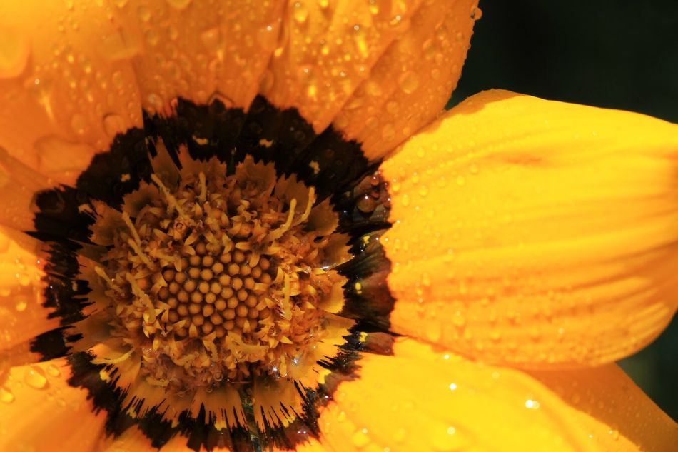 Flower Petal Fragility Freshness Flower Head Beauty In Nature Growth Yellow Pollen Close-up Blooming Yellow Flower Yellow Daisy Yellow Color Yellow Daisy Closeup Yellow Daisy Extreme Close Up Extreme Close-up Water Droplets Plant Yellow Petals Growth Garden Plant Yellow Daisies Flowers Flower Collection