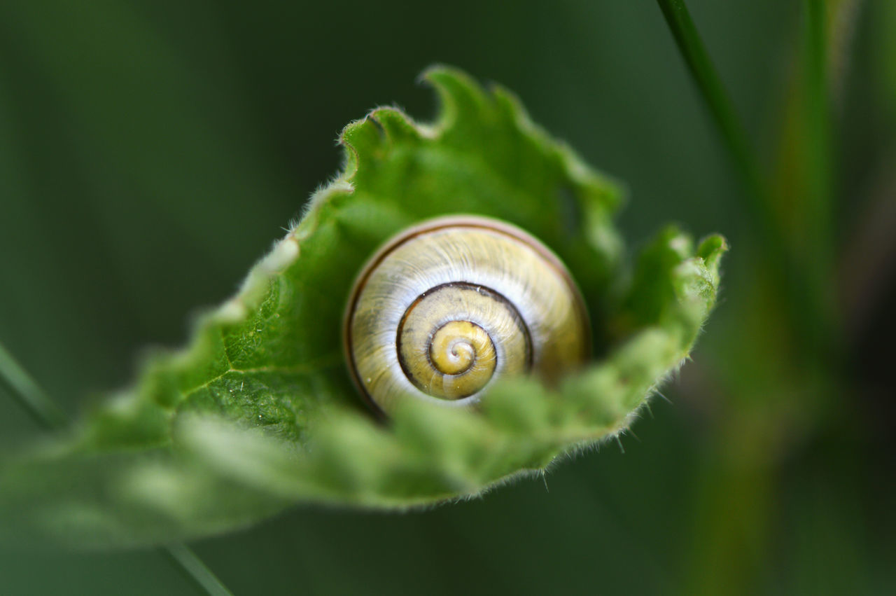 Feeling secure... Snail Leaf One Animal Spiral Fragility Animal Themes Green Color Close-up Nature No People Animals In The Wild Plant Animal Wildlife Outdoors Day Snails Snail Shell Nettle Macro Macro Photography The Great Outdoors - 2017 EyeEm Awards Animals Beauty In Nature Springtime Mollusca
