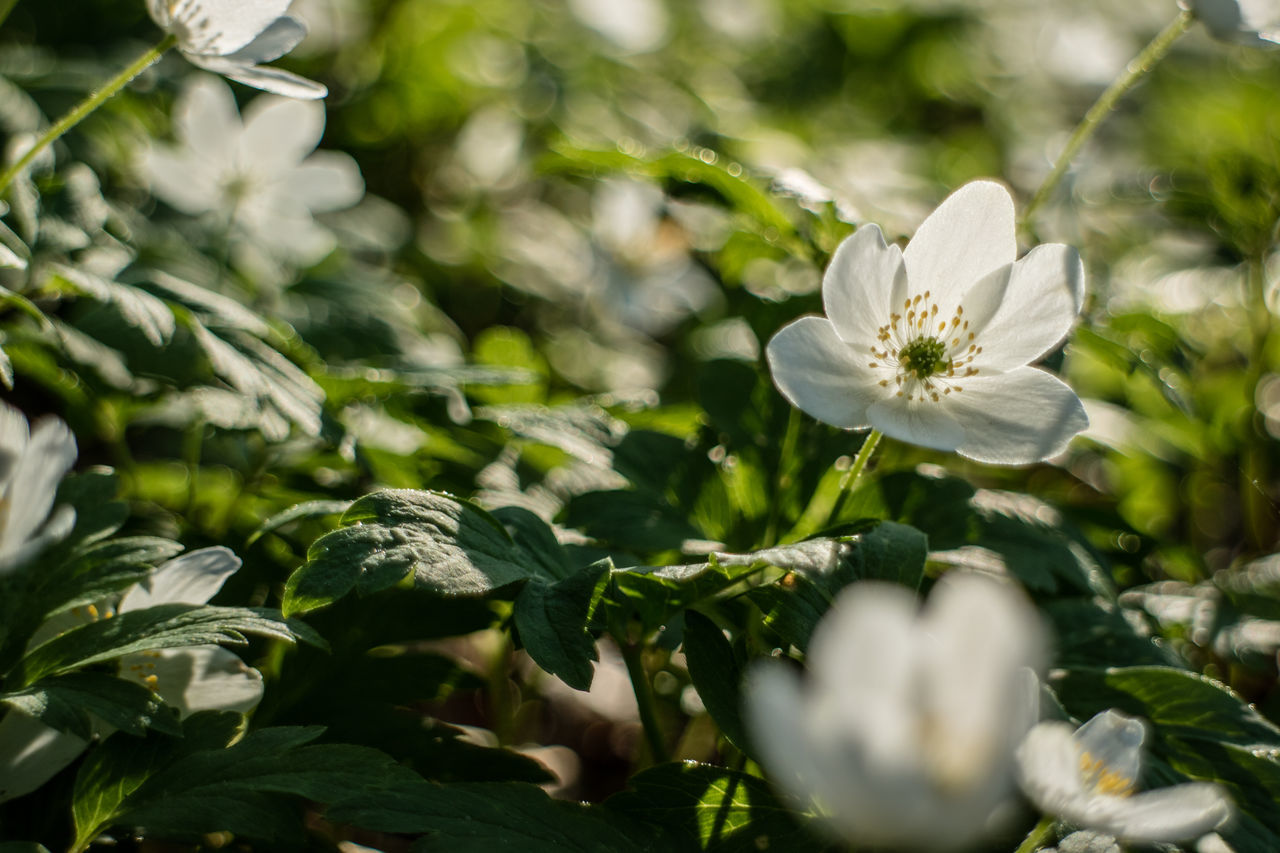 Beauty In Nature Blooming Close-up Day Flower Flower Head Fragility Freshness Growth Live For The Story Nature No People Outdoors Plant The Great Outdoors - 2017 EyeEm Awards Wood Anemone