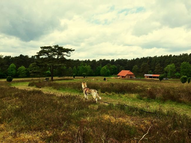 First Eyeem Photo Siberian Husky Dog Lüneburger Heide Iphone6 EyeEm Nature Lover Germany Nature Forest Lüneburg Trees Landscape Enjoying Life Creative Photography IPhone IPhoneography Animal Photography Urban Landscape Dogs Animal Love Animal_collection Animals Amelinghausen Outdoors