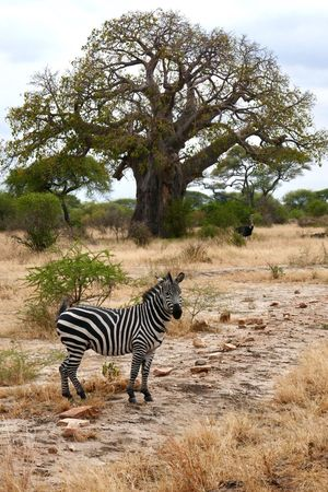 Striped Zebra Animals In The Wild Animal Wildlife Tree Safari Animals One Animal Mammal Nature Day Outdoors Animal Themes No People Full Length Beauty In Nature Sky Africa Beauty In Nature Animals In The Wild Tree Trunk Wildlife Tanzania