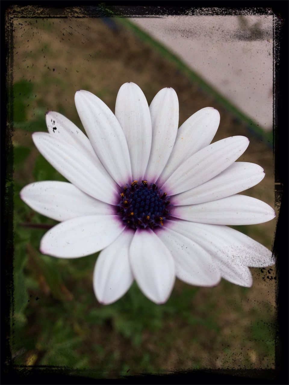 flower, petal, nature, fragility, beauty in nature, flower head, freshness, plant, blooming, no people, growth, outdoors, day, osteospermum, close-up