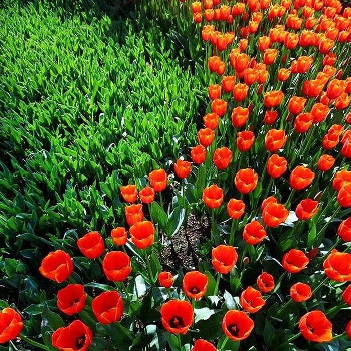 Lale Zamanı Flowers çiçek Nature Doğa