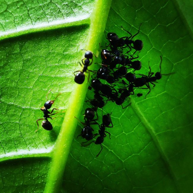 The one behind, direct Insect Insect Photography Nature Miniscule Leaf Ants Green