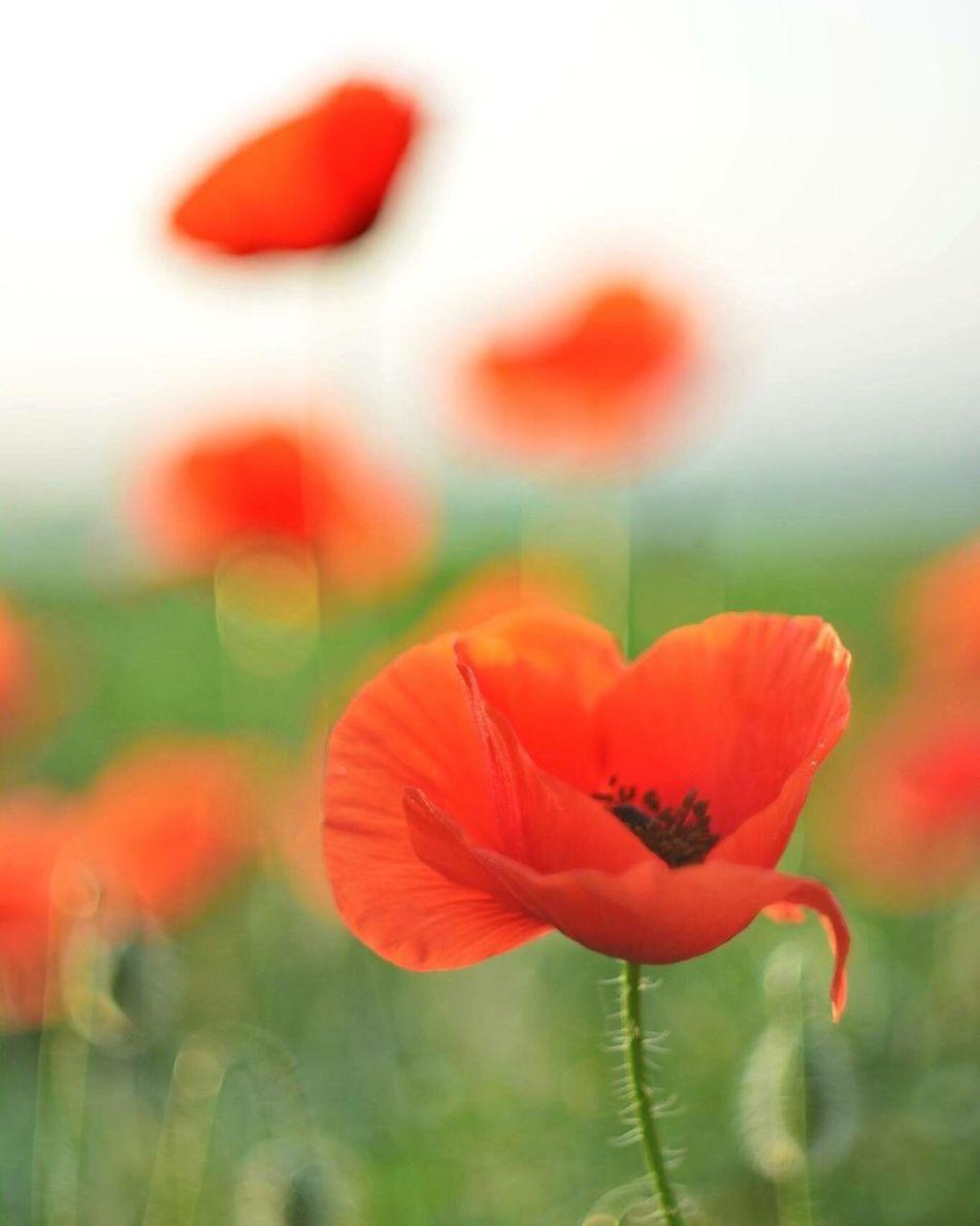 Poppies Poppies  Flower Meadow Photography Art Nikonphotography Nikond7000 Memoryofsummer Summer
