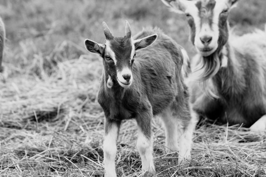 Little goat Animal Themes Field Mammal Focus On Foreground Domestic Animals Livestock Young Animal Grass No People Day Nature Outdoors Close-up