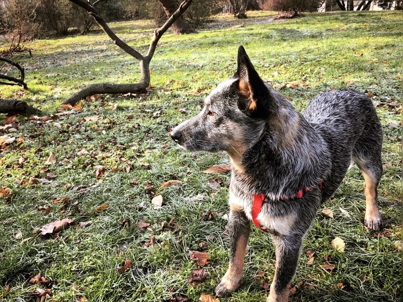 Looking for Santa in all the wrong places Animal Themes Domestic Animals One Animal Mammal Grass Pets Dog Field No People Outdoors Day Nature Australian Cattle Dog Blue Dog ACD  Blue Heeler Cattledog Nature Cattle Dog Australiancattledog Heeler