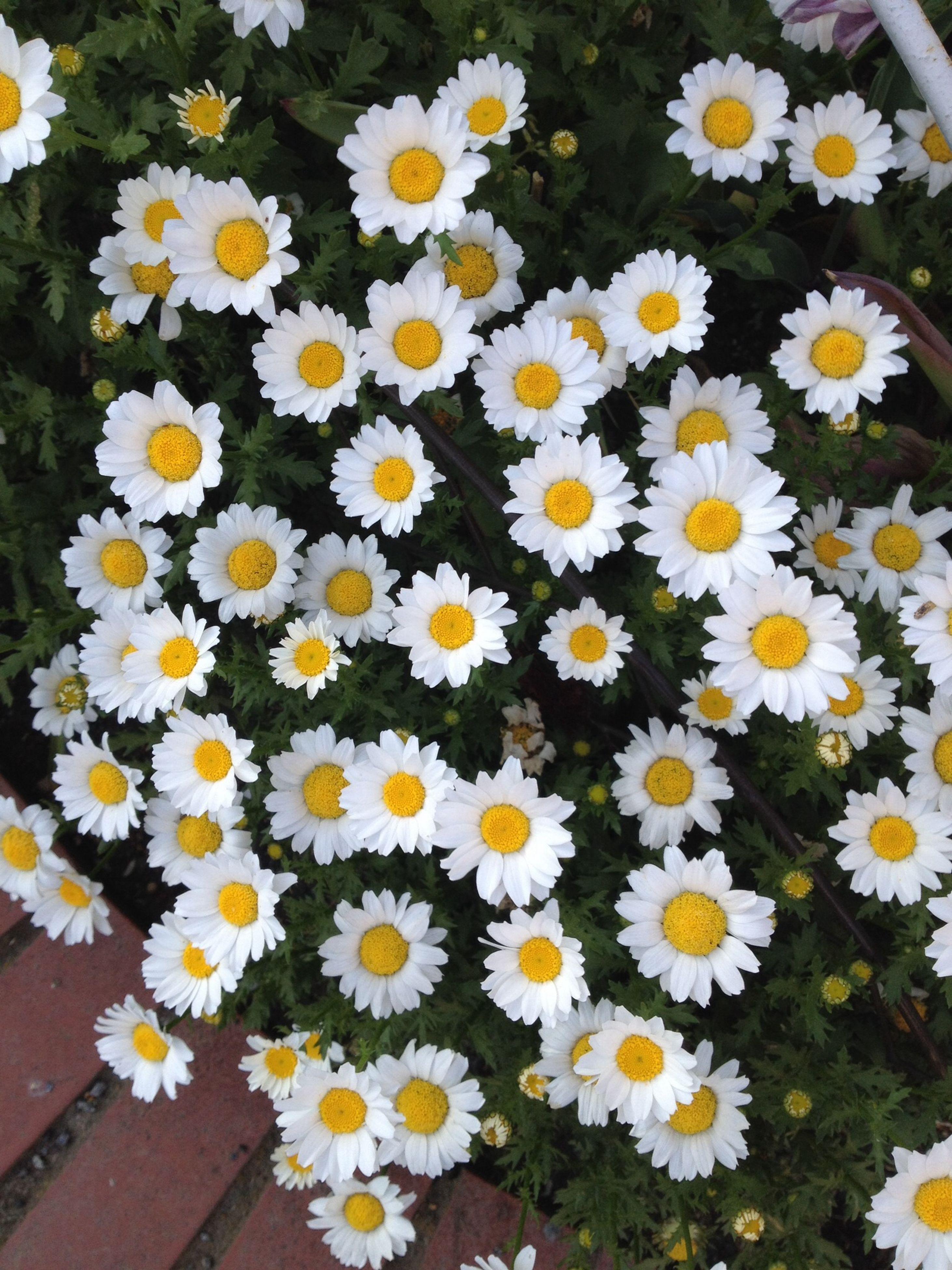 flower, daisy, freshness, fragility, petal, flower head, white color, beauty in nature, growth, yellow, high angle view, nature, blooming, pollen, abundance, plant, blossom, full frame, in bloom, white