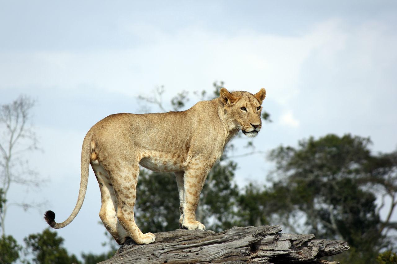 Africa Animal Themes Animals In The Wild Kenya Lion Lions Mammal One Animal Safari Safari Animals Tree Wildlife