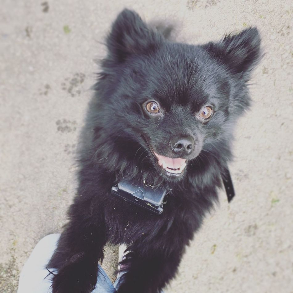Looking At Camera Pomeranian Puppy Love Paw Prints Pawprints Dogs Dogs Of EyeEm