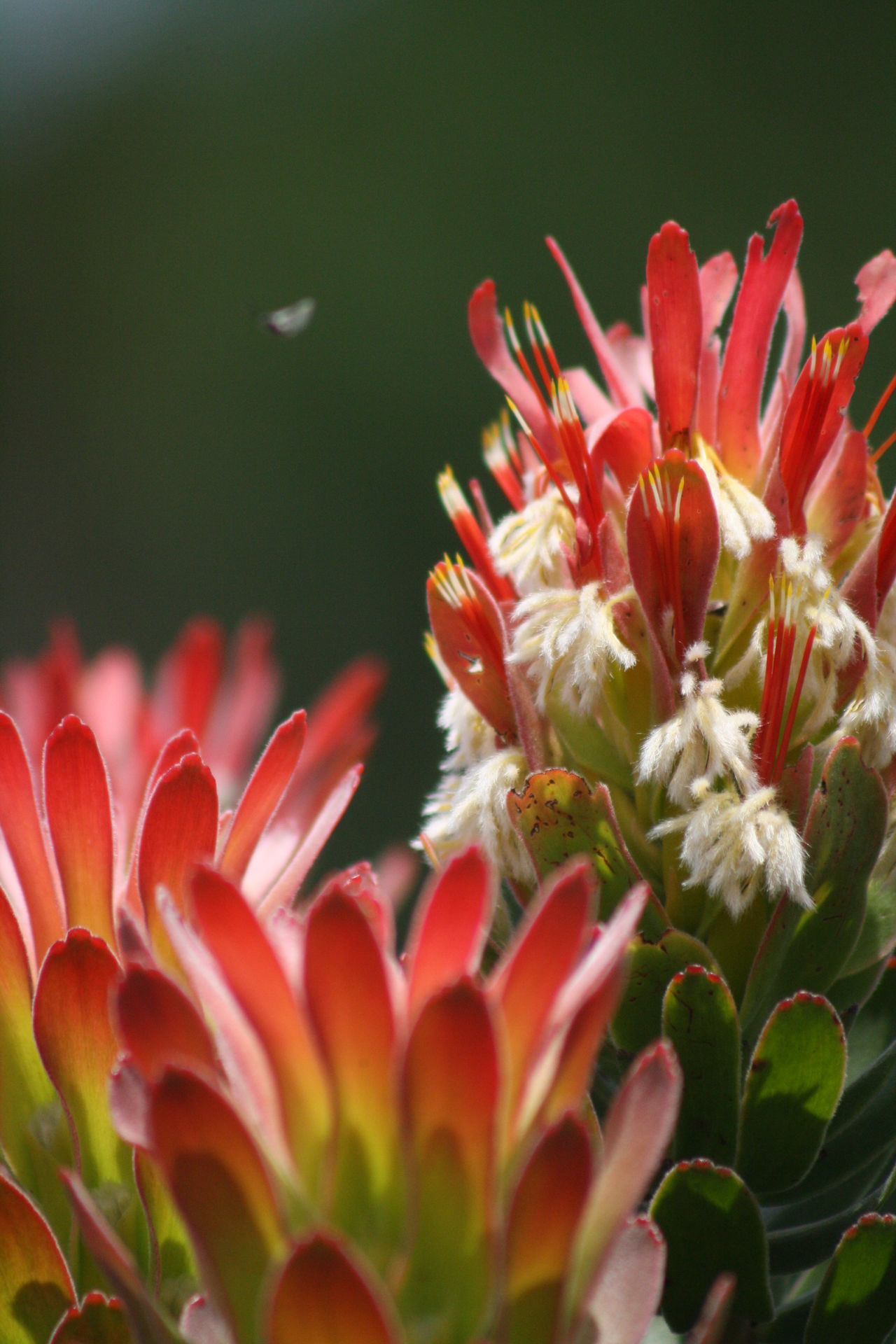 Plants Botany Red Cape Town Kirstenbosch Garden Botanical Macro Photography Nophotoshop Gradient Believe Flowering Exotic Original Maximum Closeness