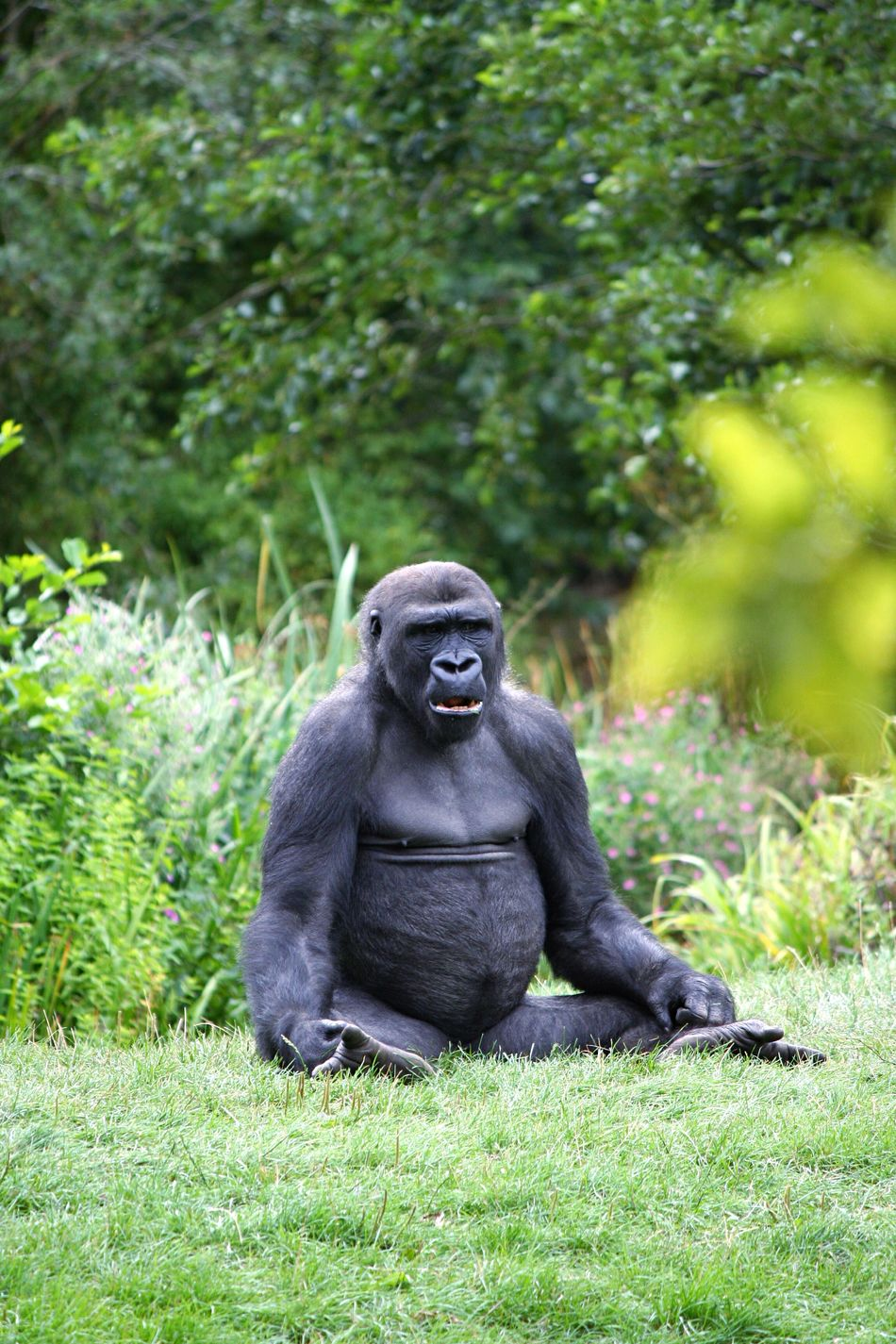 Beautiful stock photos of gorillas, Animals In The Wild, Day, Front View, Full Length