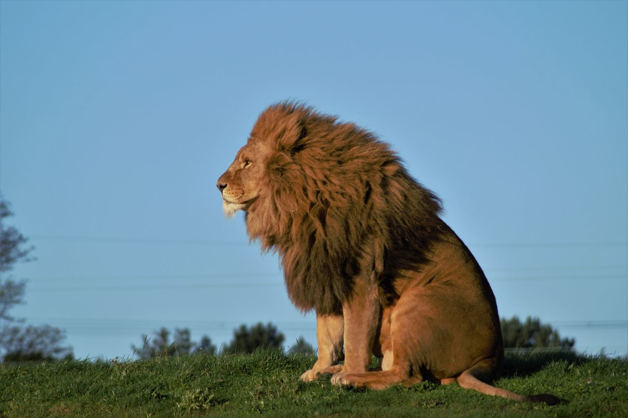 Beautiful stock photos of löwe,  Animal Wildlife,  Animals In The Wild,  Beauty In Nature,  Clear Sky