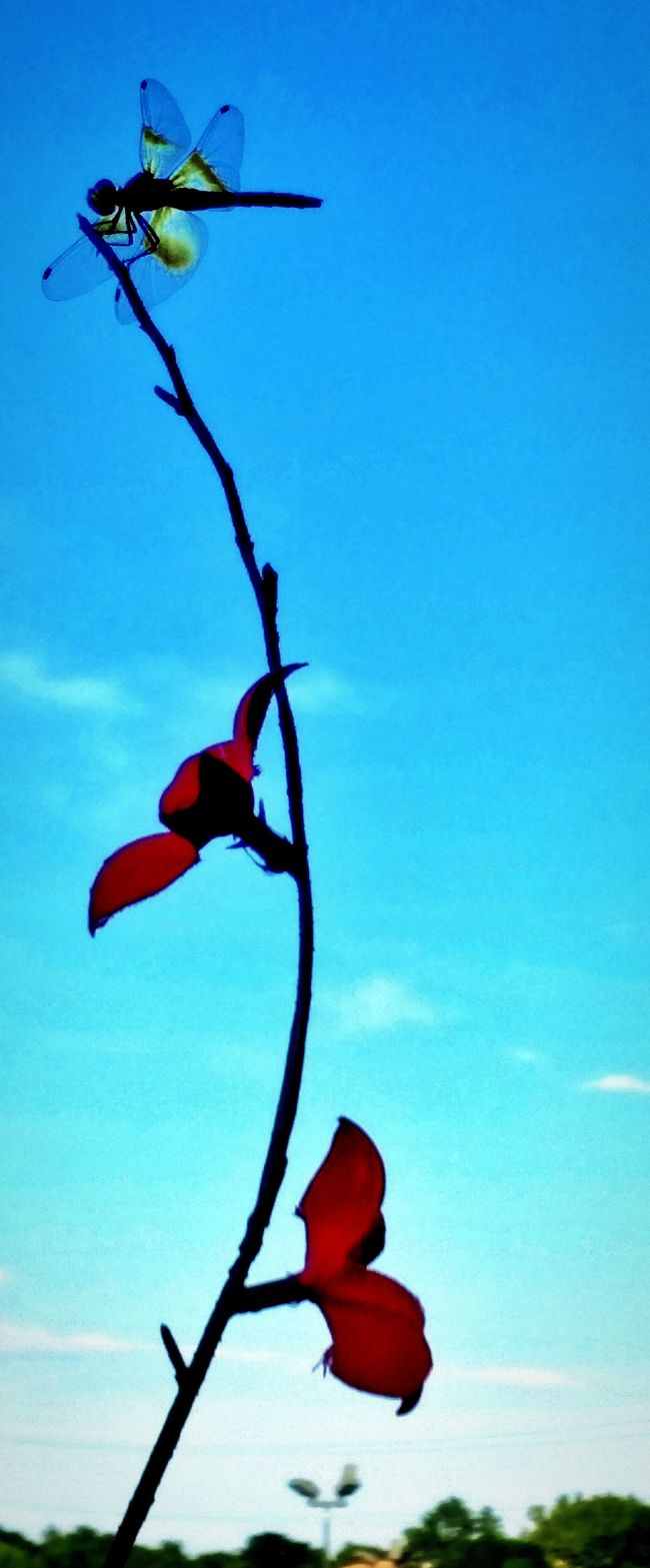 Dragonfly Red Flowers Blue Sky Dragon Fly