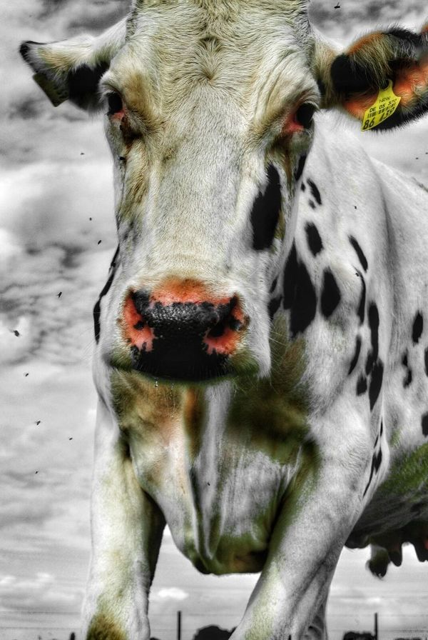 Animal Love Animal Cattle Cowlover Countryside Animals Posing Cowlove Cowportrait Animalportrait Animal Photography Animal_collection Country Life Nature Photography Cows In A Field Cows Cow Colorsplash