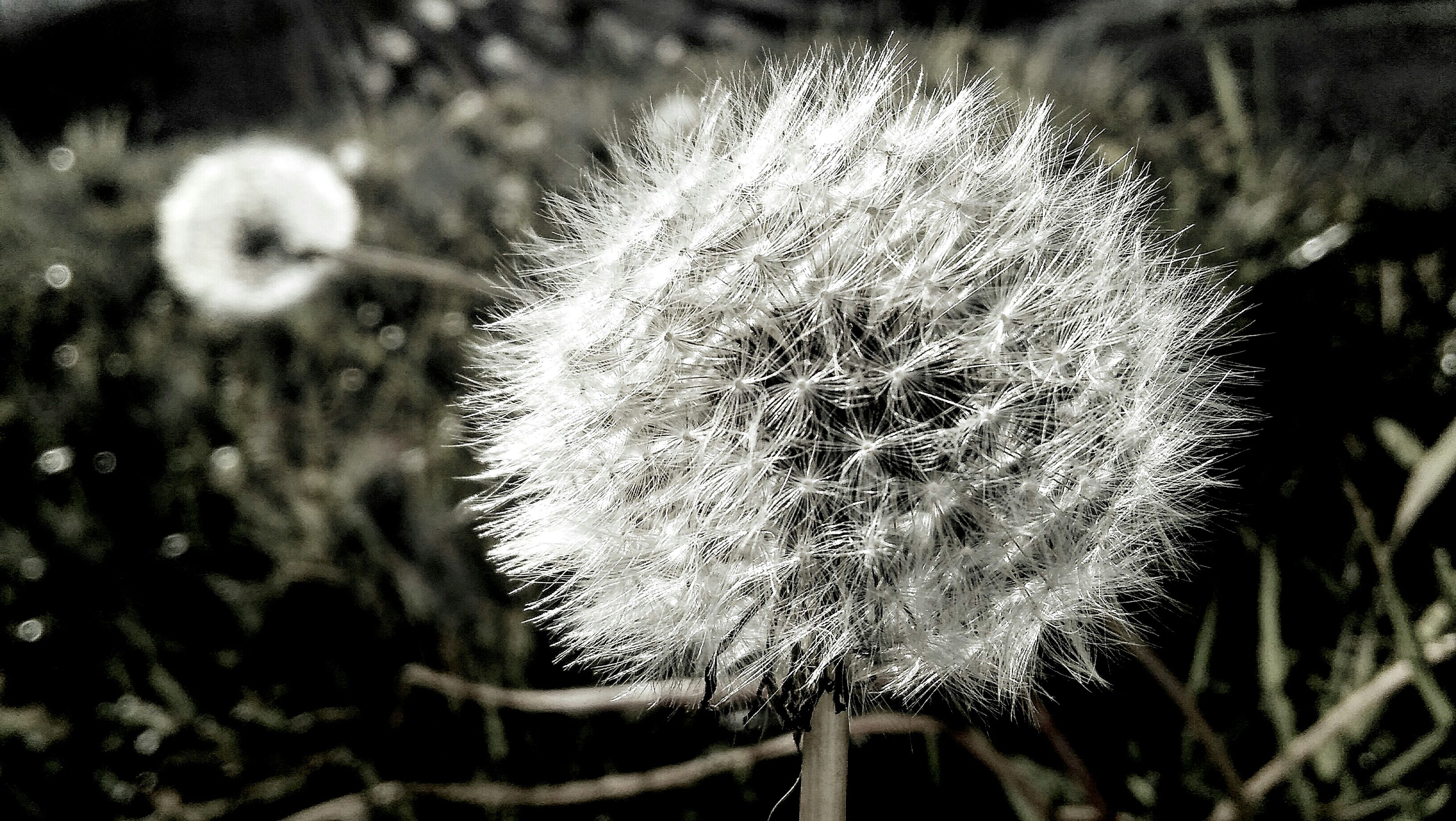 close-up, cold temperature, winter, dandelion, focus on foreground, fragility, snow, frozen, flower, season, weather, nature, growth, beauty in nature, white color, freshness, plant, flower head, single flower, outdoors