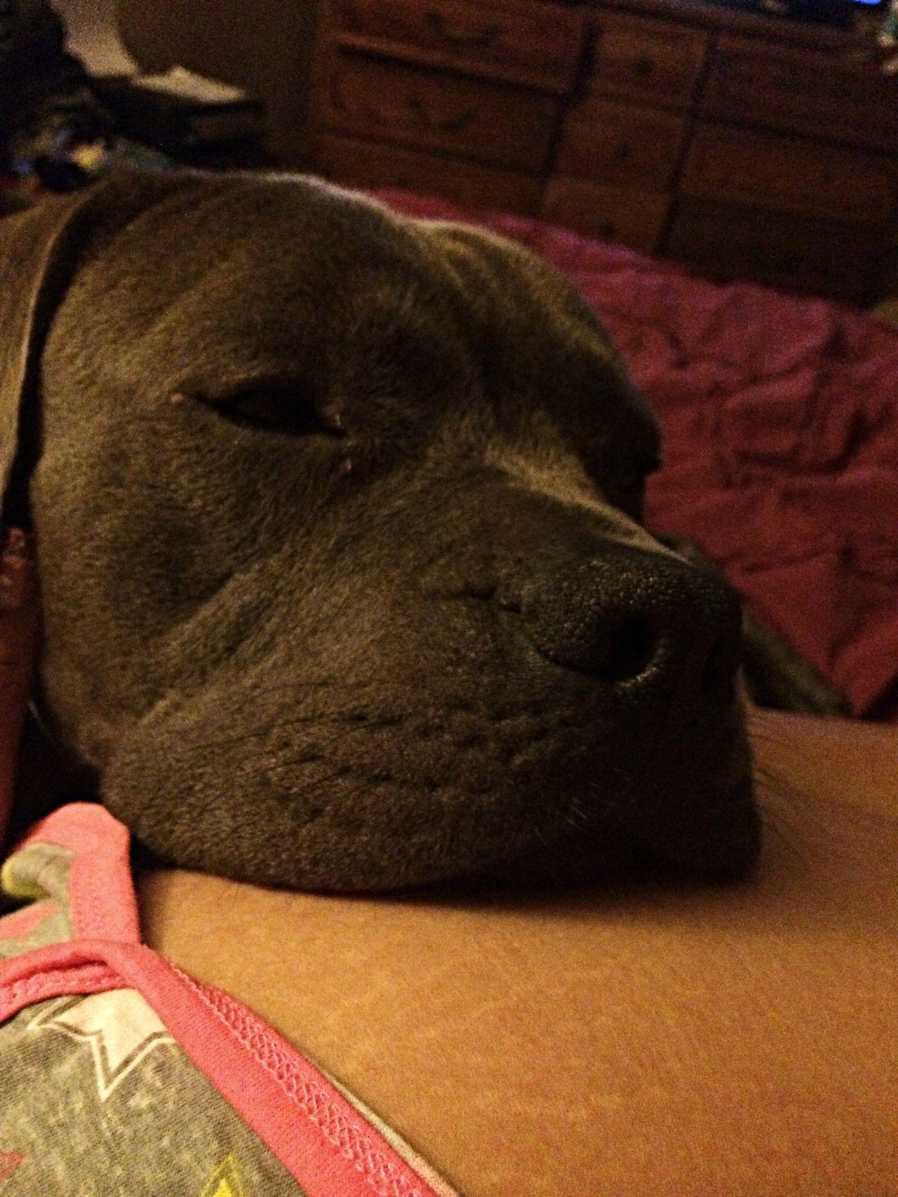 My doggy. I love him so much Jlove Bluenosebully Dontbullymybreed Pitbull♥