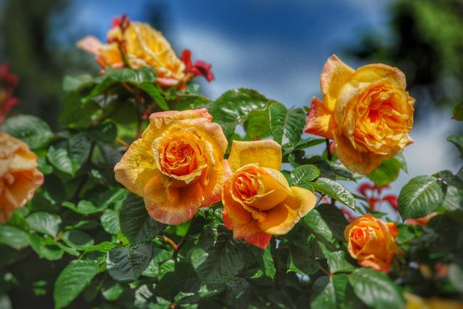 Rosen Roses Rose Garden Rose♥ Portland, OR Portlandrosegarden EyeEm Best Shots Enjoying Nature United States Nature_collection Nature Photography Enjoying The View EyeEm Nature Lover Eyeemphotography Flower Collection Flowers,Plants & Garden Flower Photography Flowerlovers Flowers