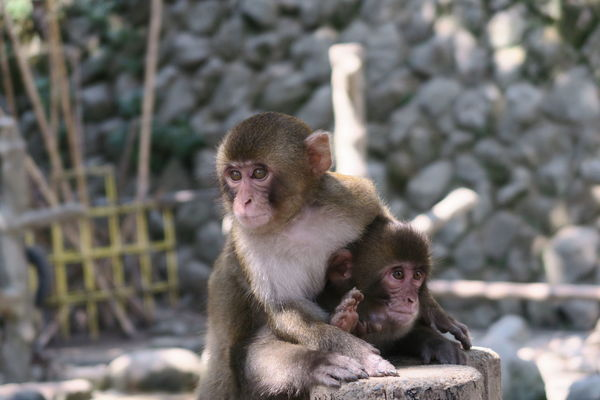 Animal Themes Animals In The Wild Monkey Primate Mammal Young Animal Nature Animal Wildlife Care Outdoors No People Day Togetherness 高崎山 大分 Japan Ooita