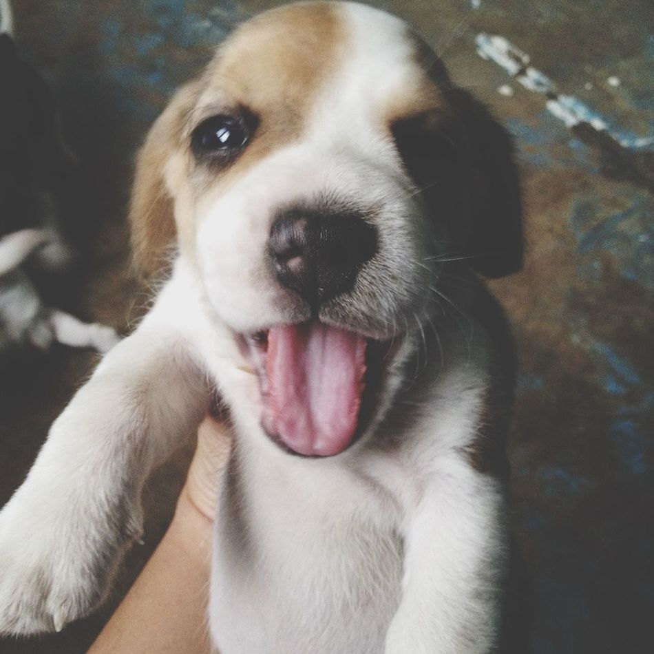 Beautiful stock photos of beagle, , Square Image, alertness, animal