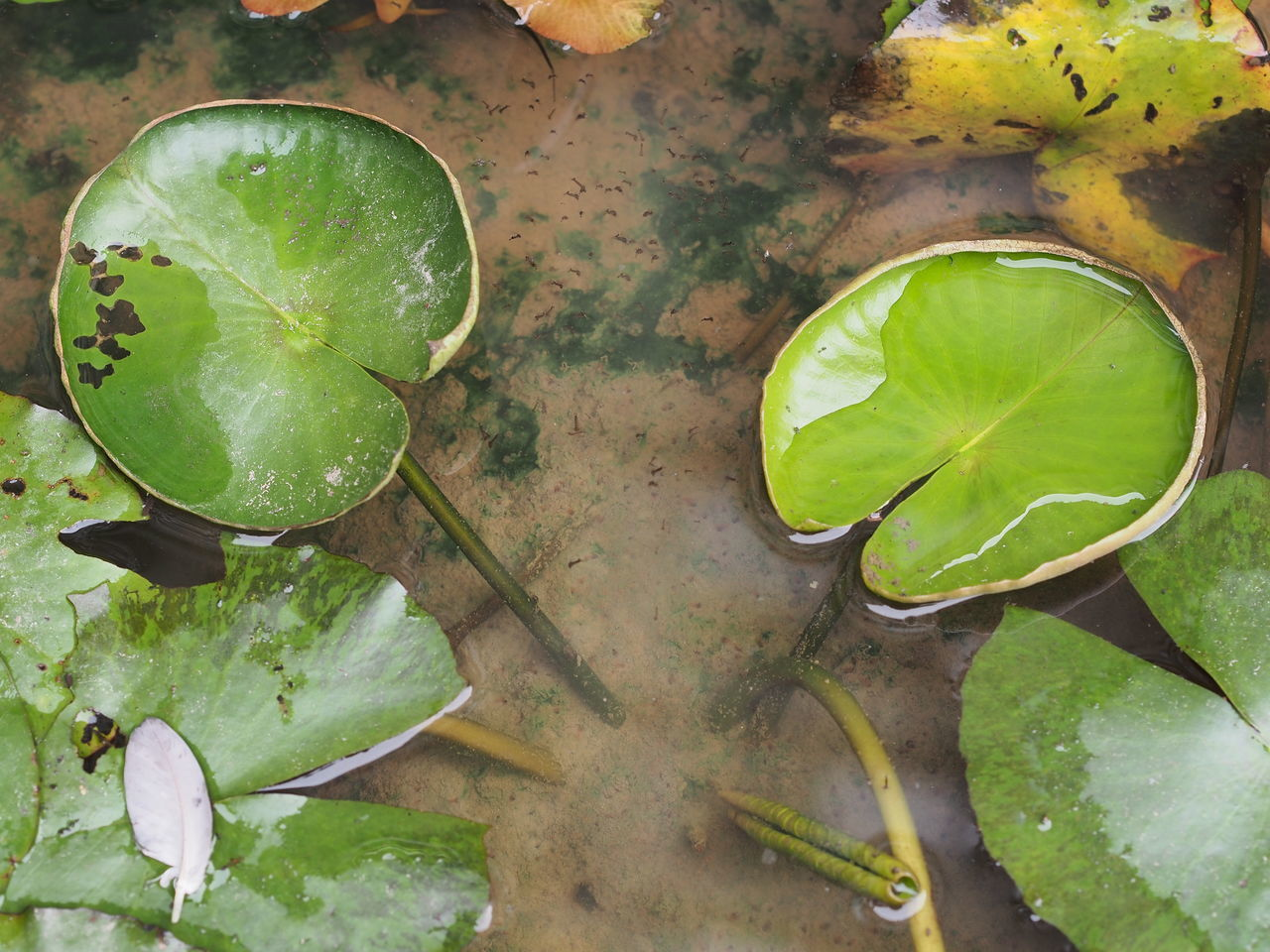 leaf, green color, high angle view, no people, water, freshness, directly above, water lily, close-up, drinking glass, lily pad, nature, indoors, healthy eating, day