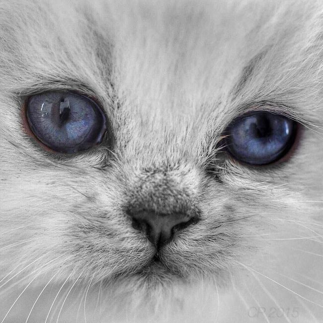 One Animal Animal Themes Close-up Domestic Cat Pets Cat Feline Animal Head  Domestic Animals Animal Eye Chat