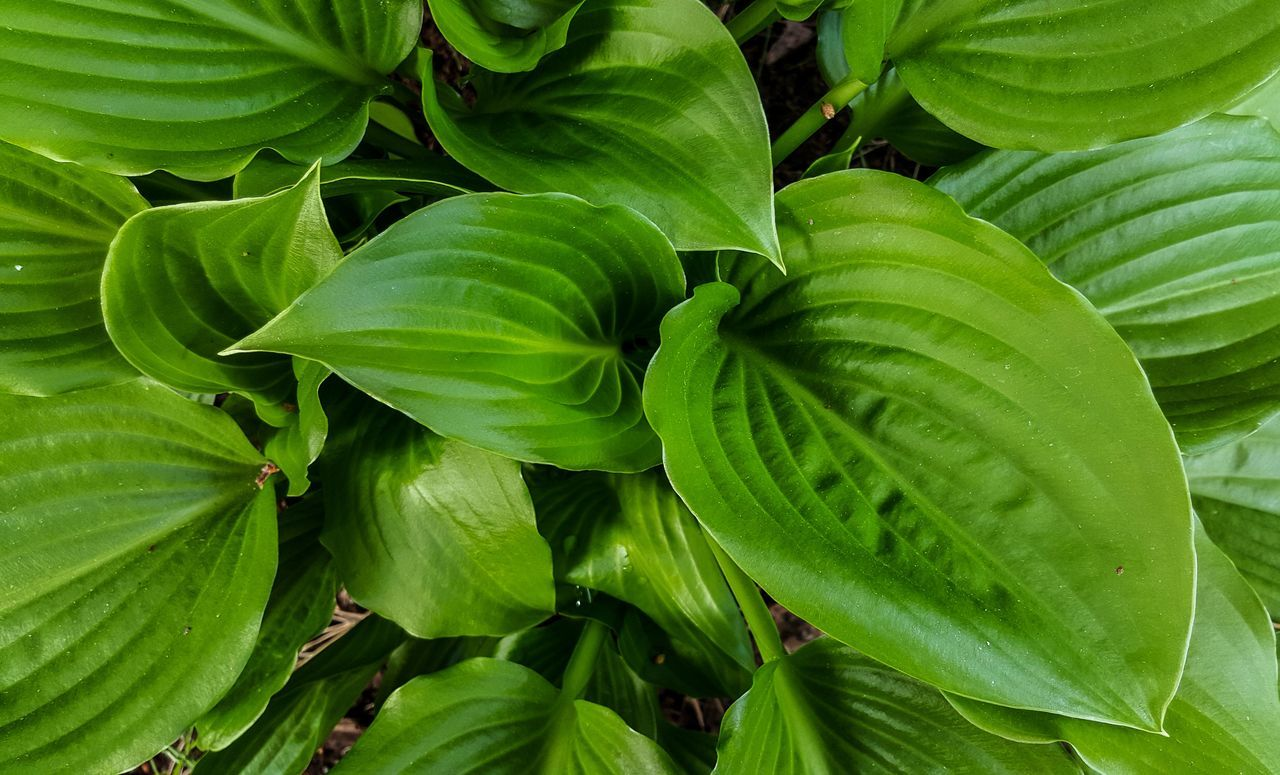 It's a jungle out there ;-) Backgrounds Beauty In Nature Close-up Dalarna Day Freshness Full Frame Garden Green Color Growth Hosta Jungle Leaf Nature No People Outdoors Plant Sweden