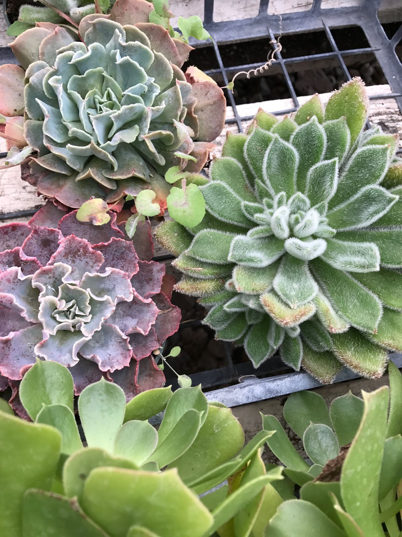 Echeveria Colorful Varieties Tranquility Hill Farm Clifton Springs Ny In The Greenhouse