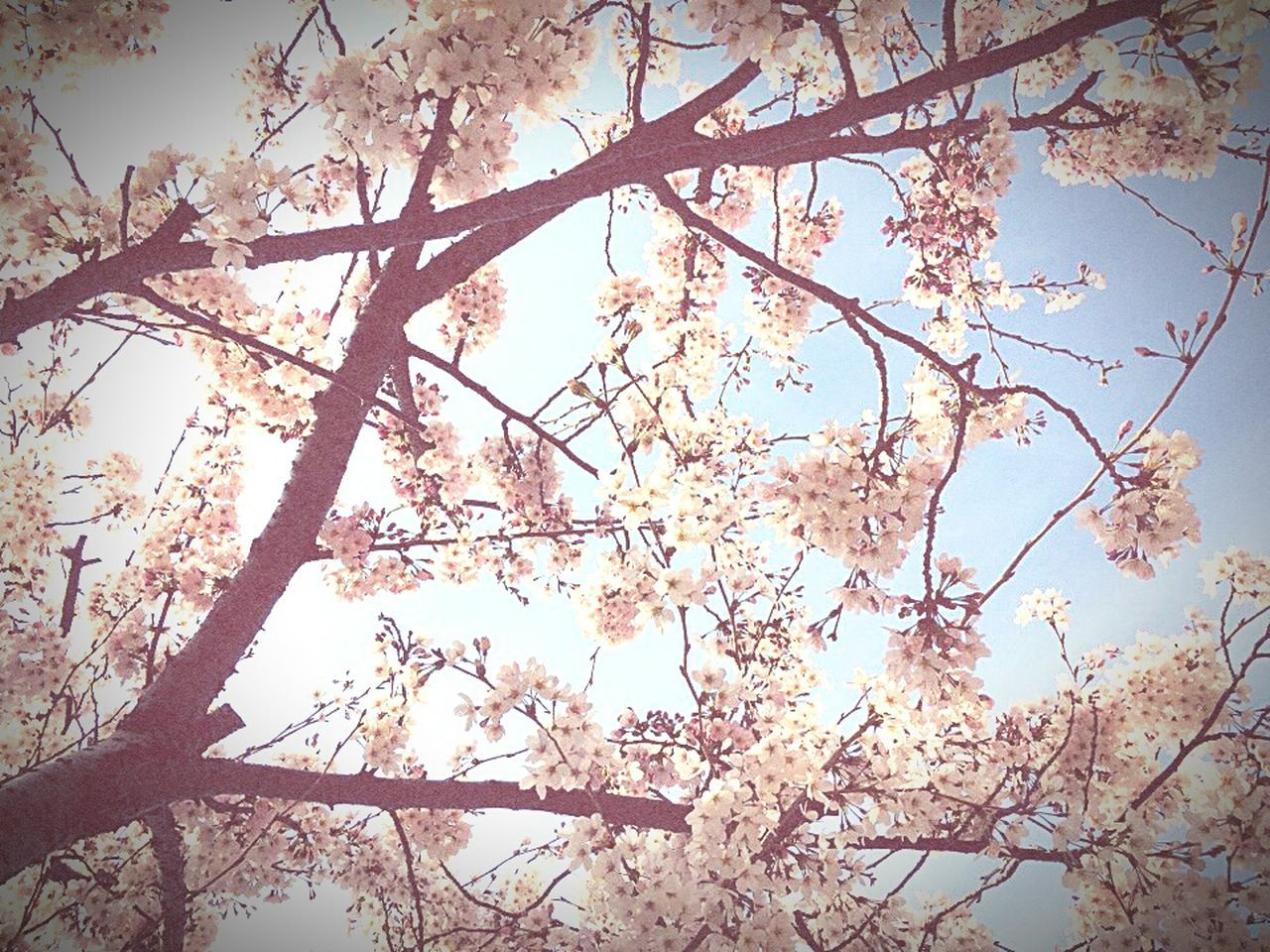 tree, branch, nature, beauty in nature, low angle view, growth, flower, blossom, outdoors, day, no people, backgrounds, sky, freshness, springtime, scenics, fragility, close-up
