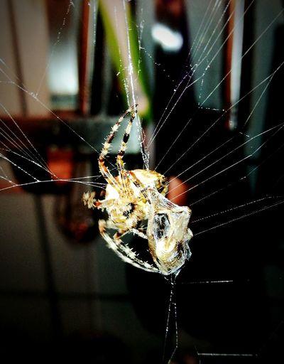 Spider, Kreuzspinne, Animal, Freshfoot, Arachne Kitchen EyeEm Selects Spider Web Spider One Animal Web Insect Animal Themes Focus On Foreground Nature No People