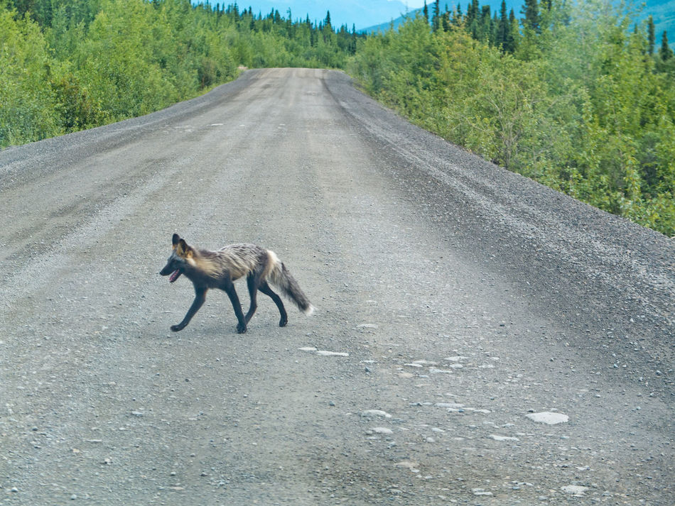 A fox on the Dempster Highway Animal Animal Themes Dempster Highway Fox Mammal Nature Outdoors Road
