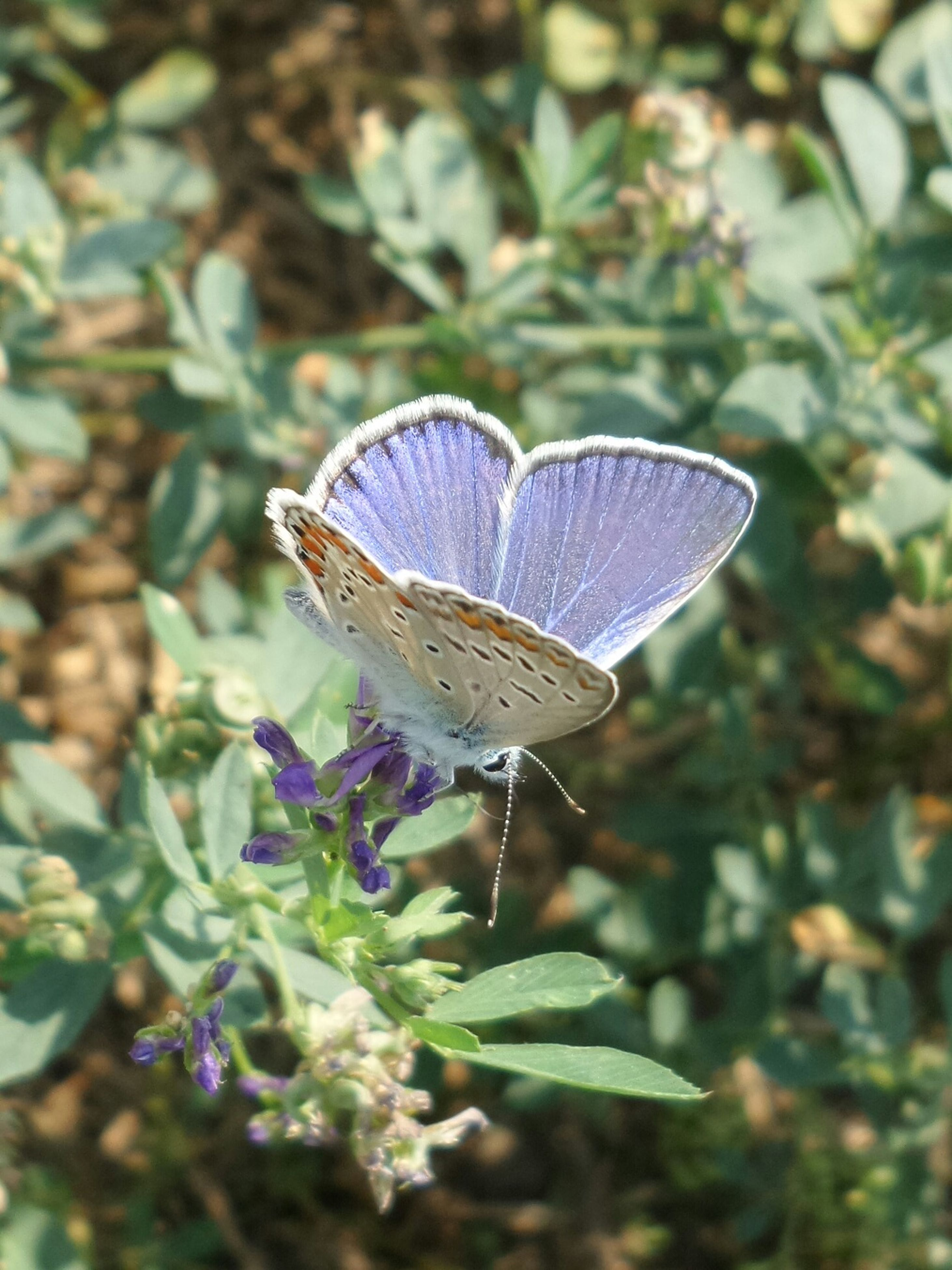 insect, butterfly, one animal, butterfly - insect, animal themes, animals in the wild, plant, nature, fragility, leaf, no people, growth, beauty in nature, day, outdoors, close-up, flower, spread wings, freshness, perching