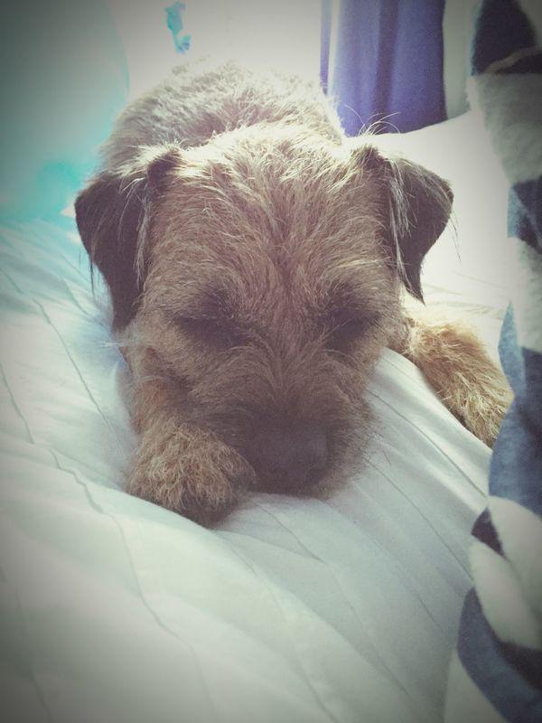 Love Border Terrier Relaxing