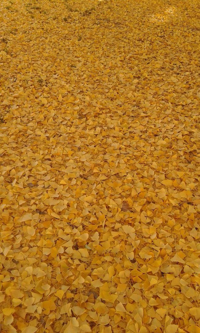 Leaves Autumn Colors Autumn Autumn Leaves Autumn Collection Yellow Leaves Fallen Leaves Fallen Rug Autunno  Colori D'autunno Giallo Yellow Foglie Gialle Foglie Foglie A Terra Tappeto Di Foglie Light Luce Warm Warm Colors Warm Light Luce Calda Colori Caldi