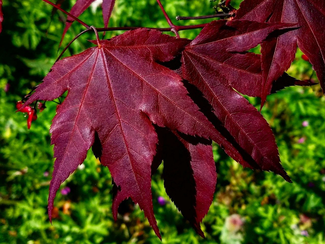 leaf, nature, focus on foreground, autumn, close-up, change, day, beauty in nature, fragility, outdoors, no people, plant, growth, maple, freshness