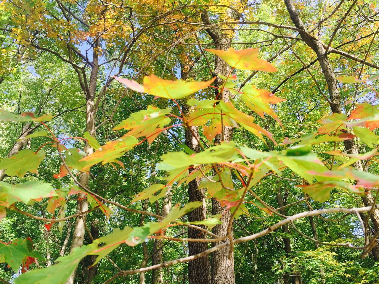growth, tree, nature, leaf, autumn, branch, beauty in nature, no people, day, outdoors, low angle view, plant, green color, tranquility, yellow, scenics, flower, close-up, freshness, maple