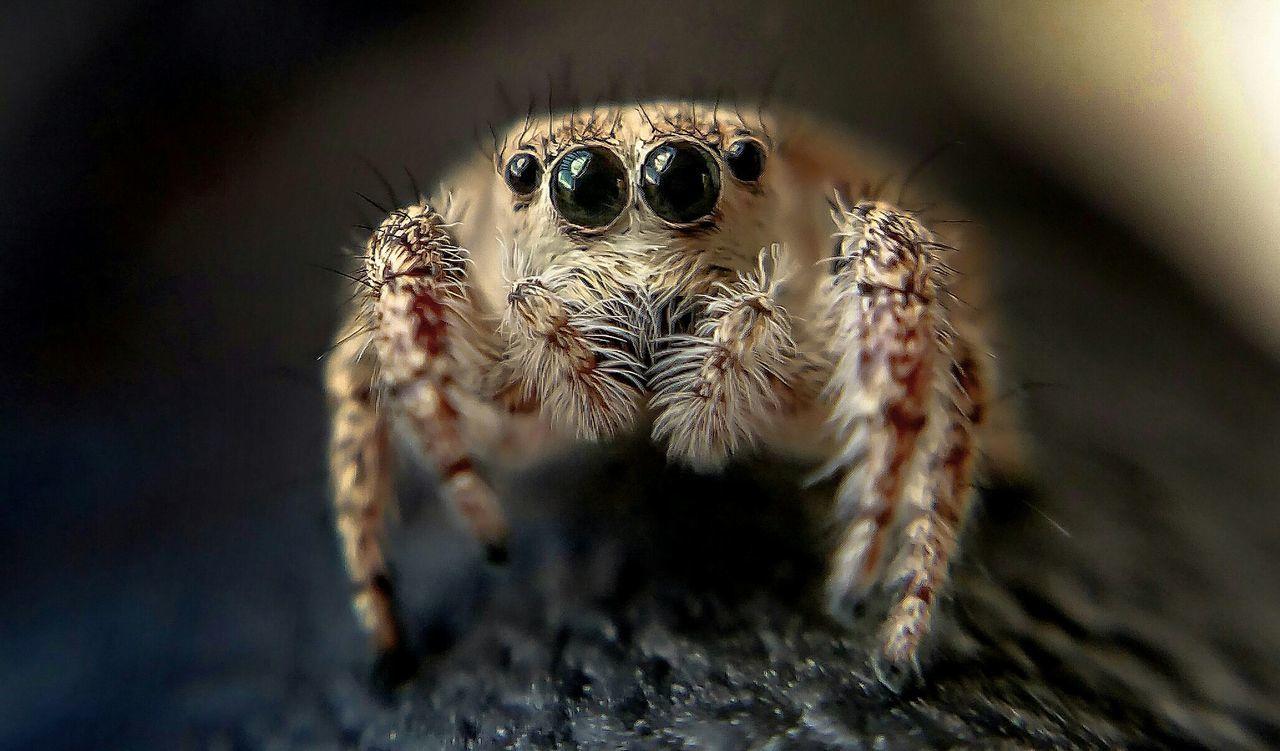 Arachnophobia Macro Photography Insect Paparazzi Attack Of The Macro Collection! EyeEm Macro Macro_collection Macro Jumping Spider Bug Portrait Spider Spiderworld Macro Beauty