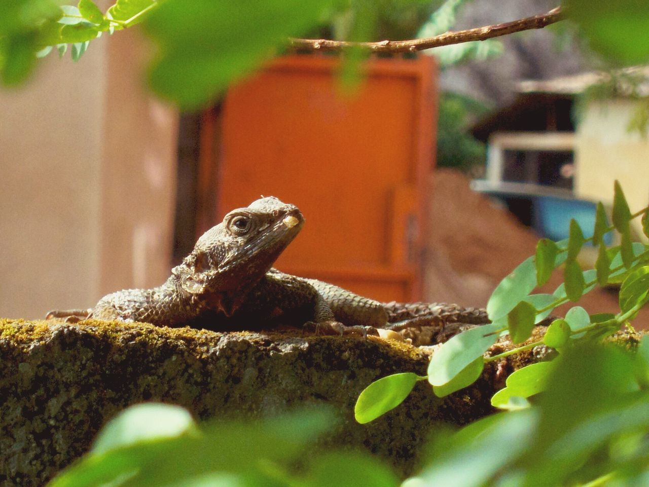 lizard, one animal, reptile, selective focus, animal themes, animals in the wild, no people, day, outdoors, nature, green color, animal wildlife, close-up, iguana