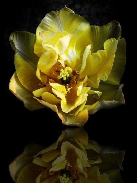 Loves_garden Loves_details Loves_flowers Pocket_allnature Loves_flowers_ Loves_nature Beautiful Nature Beauty In Nature Loves_detail Igw_nature Igw_colors Tulips Flowers Tulips Yellow Flower Yellow Color