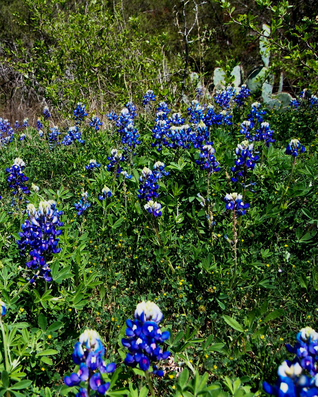 Austin Austin Texas Beauty In Nature Blue Bluebonnets Flower Growth Hill Country Hill Country Texas Nature Outdoors Purple Rural America Spring Spring Flowers Spring Into Spring Springtime Texas Texas Bluebonnet Texas Bluebonnets Texas Hill Country Texas Landscape Travel Travel Destinations Travel Photography