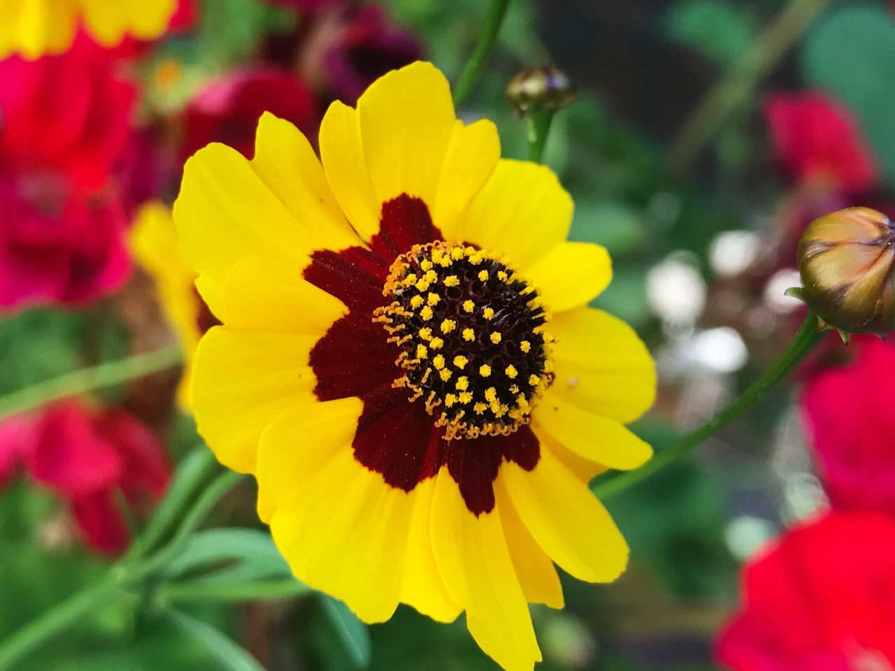 Flower Yellow Petal Growth Fragility Beauty In Nature Flower Head Nature Plant Freshness Blooming No People Day Outdoors Close-up Targetes Tagetes Flowers Tagetes Tagetes Marigolds Marigold Marigold Flower Marigolds