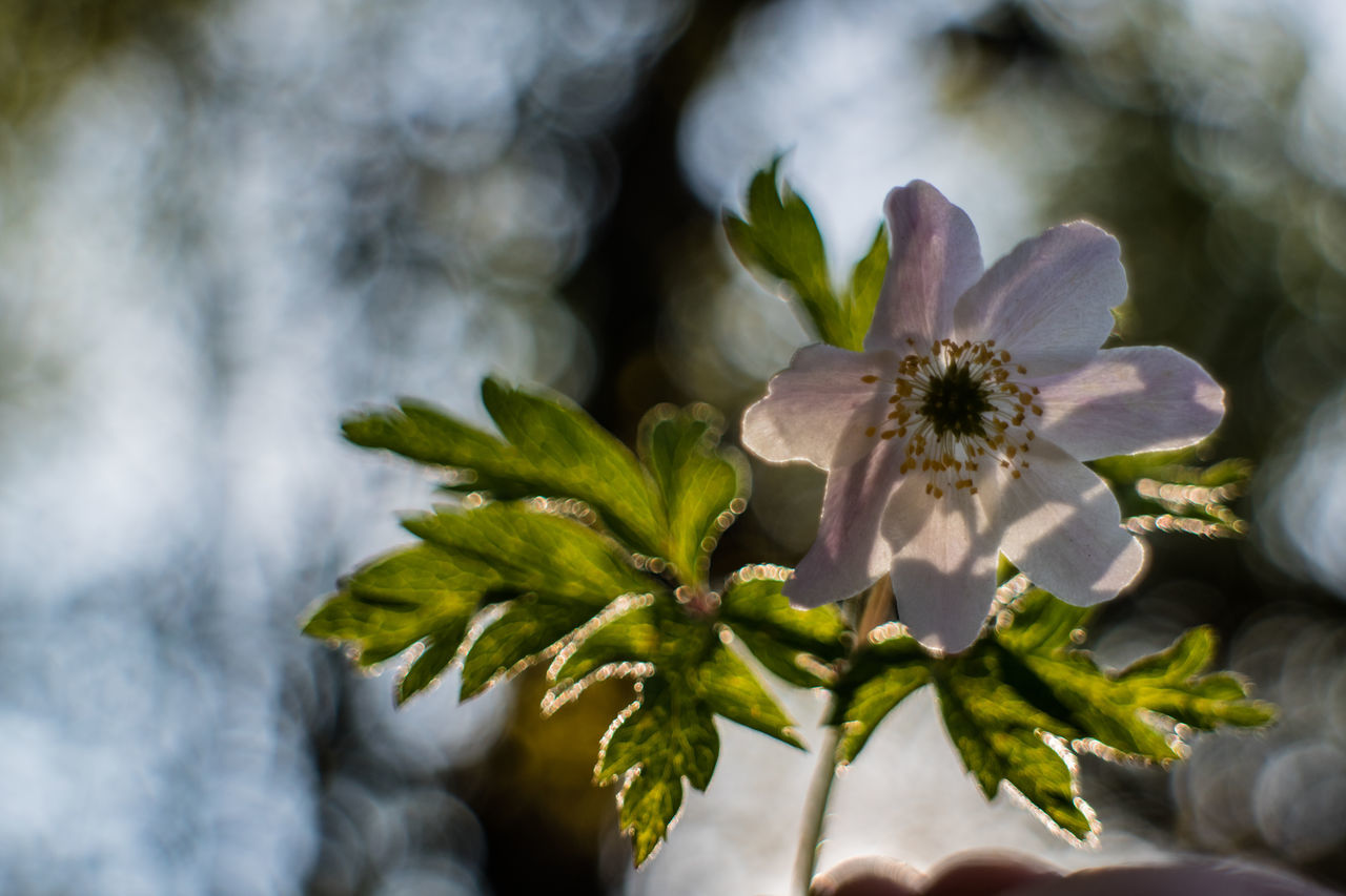 Beauty In Nature Blooming Branch Close-up Day Flower Flower Head Focus On Foreground Fragility Freshness Growth Live For The Story Nature No People Outdoors Petal Plant Springtime The Great Outdoors - 2017 EyeEm Awards Tree White Color Wood Anemone