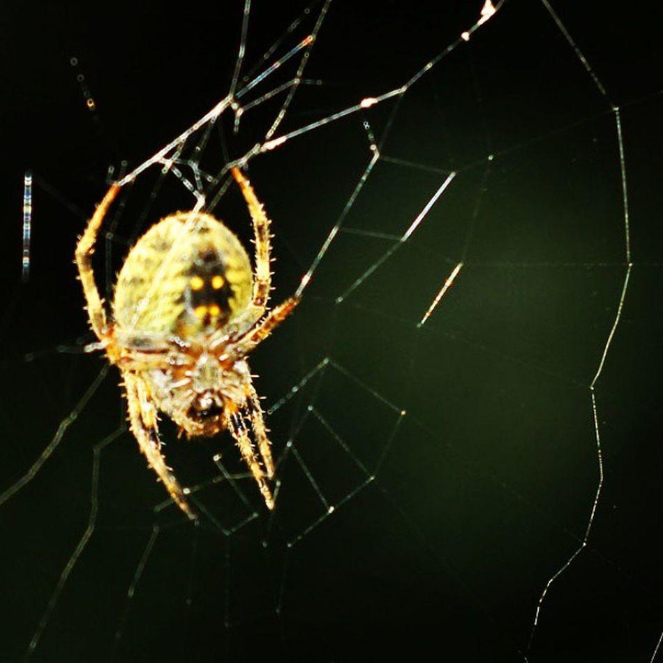 Kuning emas. Spider Spiderworld Ig_spiders Ig_spider labalaba spiderweb tgif_macro instagaruda_macro macrophotography