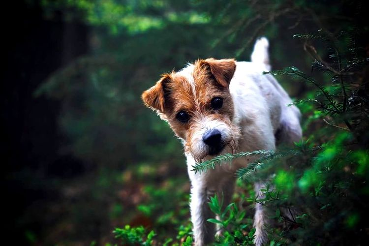Parson Russell Terrier Terrier Dog Photography Dog Portrait Canine Photography Animal Photography Forest Nature
