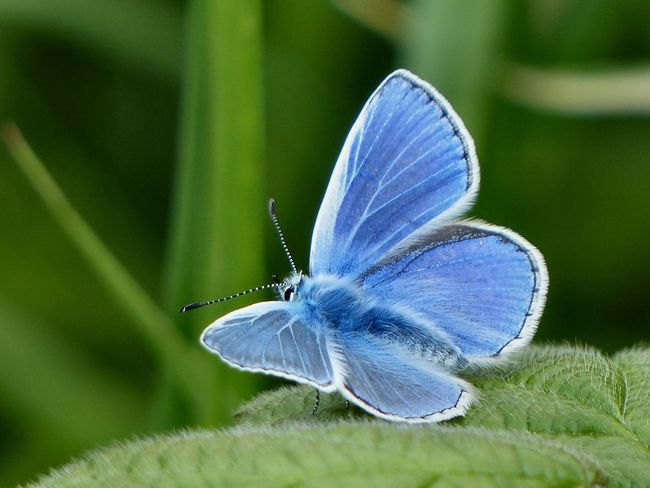 A Common Blue butterfly photographed on the South Downs, north of Hove, East Sussex - May 2016. Blue Butterfly Brighton Butterfly Common Blue Common Blue Butterfly East Sussex England Hove South Downs South Downs National Park