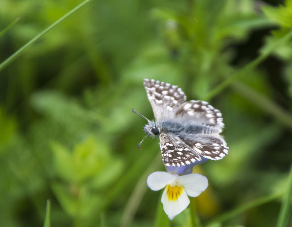 Beautiful stock photos of schmetterling, Beauty In Nature, Close-Up, Day, Flower