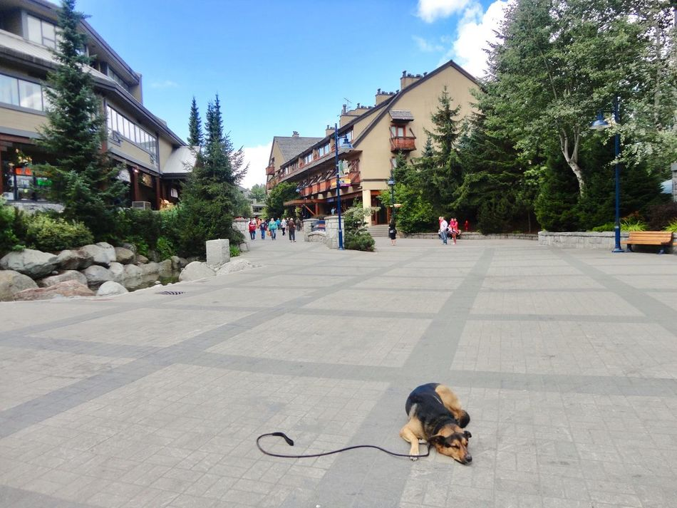 Where's your owner...🐶💤 Center of Whistler Village Whistler British Columbia Canada Dog Nap Waiting ... Lovely EyeEm Animal Lover Dog Love Canadian Landscape Sleepy Cute Dog  Alone Time Village View ウィスラー カナダ 犬 Dogs Of EyeEm Lonely Hi :) Sleeping Dog Cutie Nice To Meet You