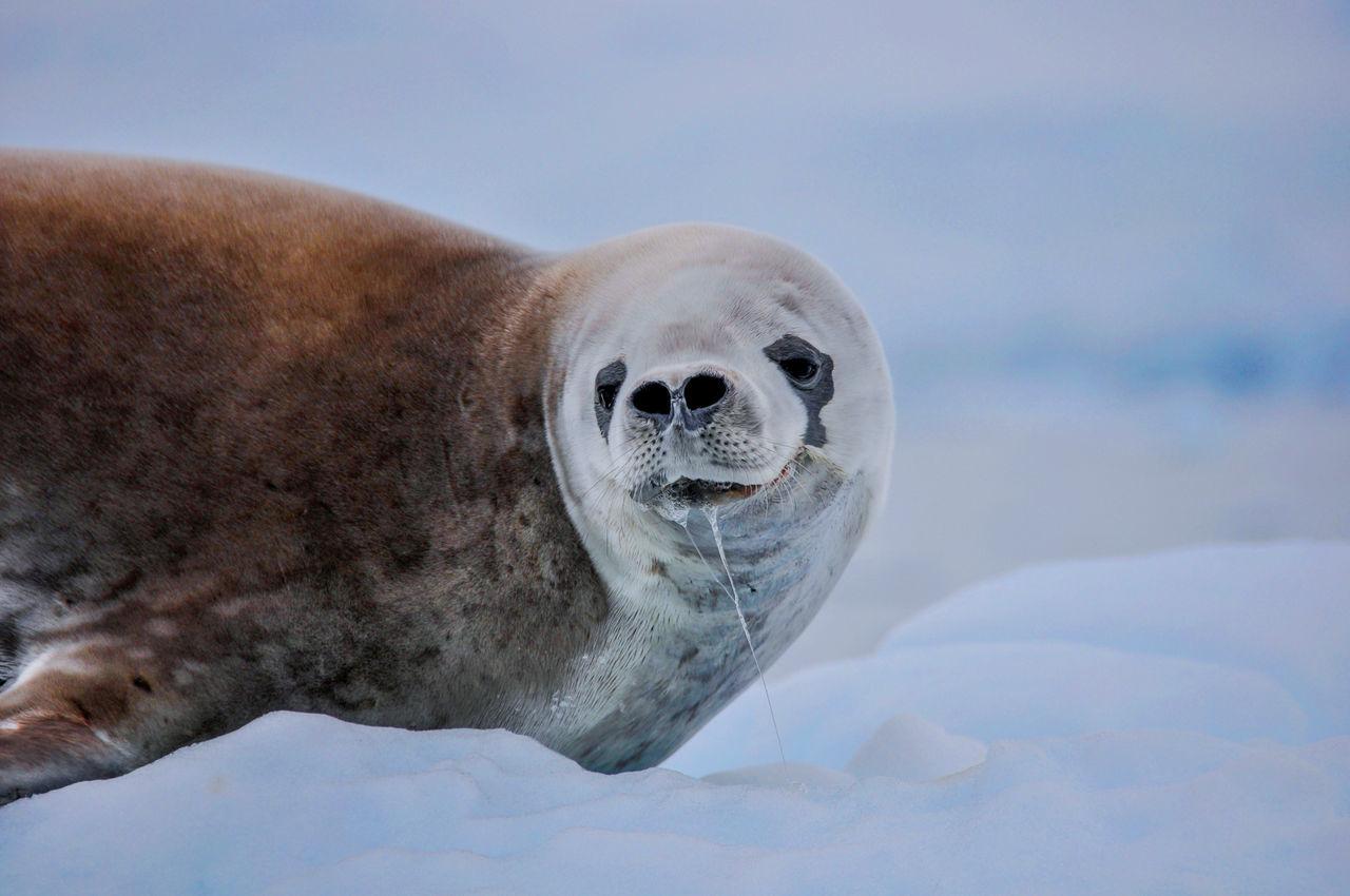 Beautiful stock photos of seal, Aquatic Mammal, animal Head, animal Saliva, animal Themes